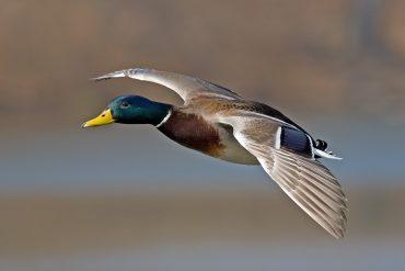 Didžioji antis – reikšmingiausias medžiojamas vandens paukštis