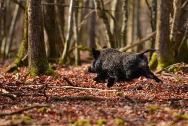 Kaip taikytis į bėgantį gyvūną?