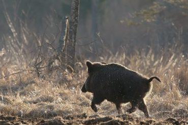 Afrikinio kiaulių maro plitimo dėsningumai Lietuvoje