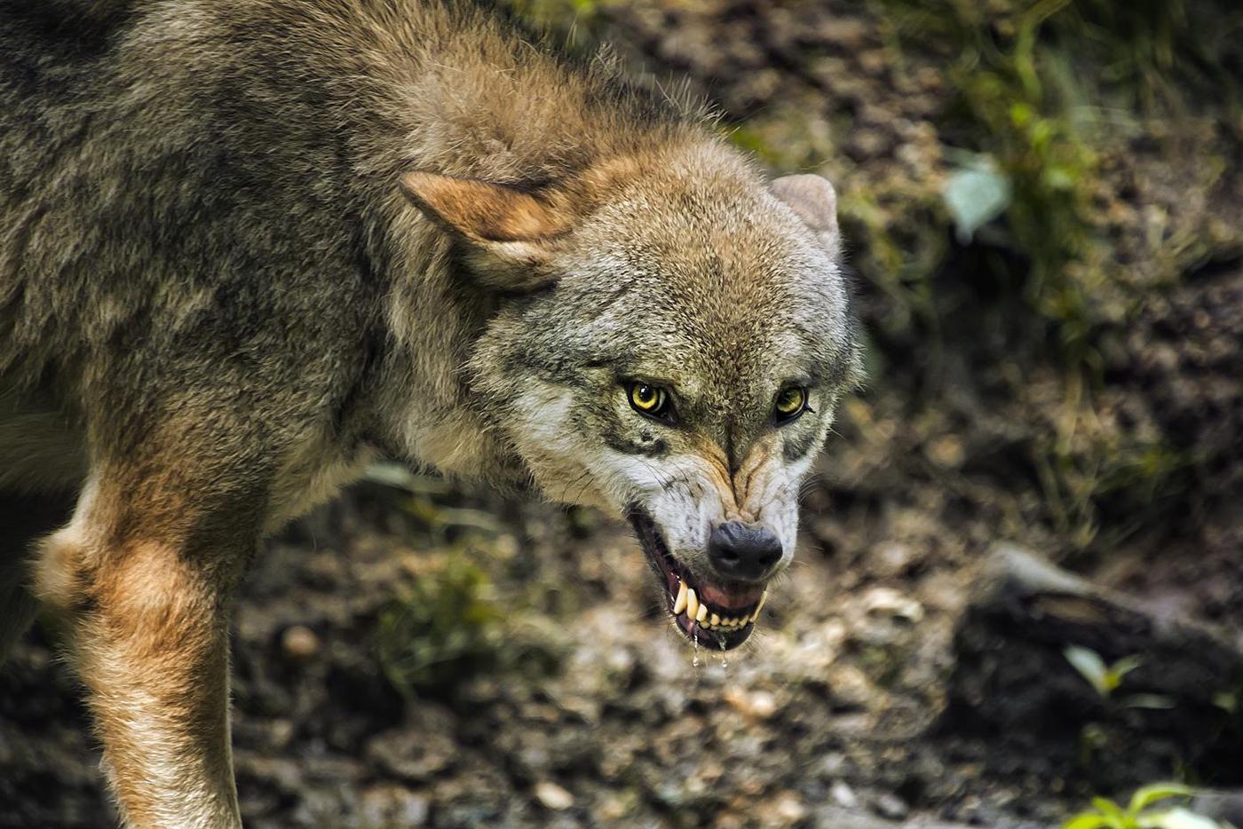 Bajorų kaime vilkai surengė skerdynes