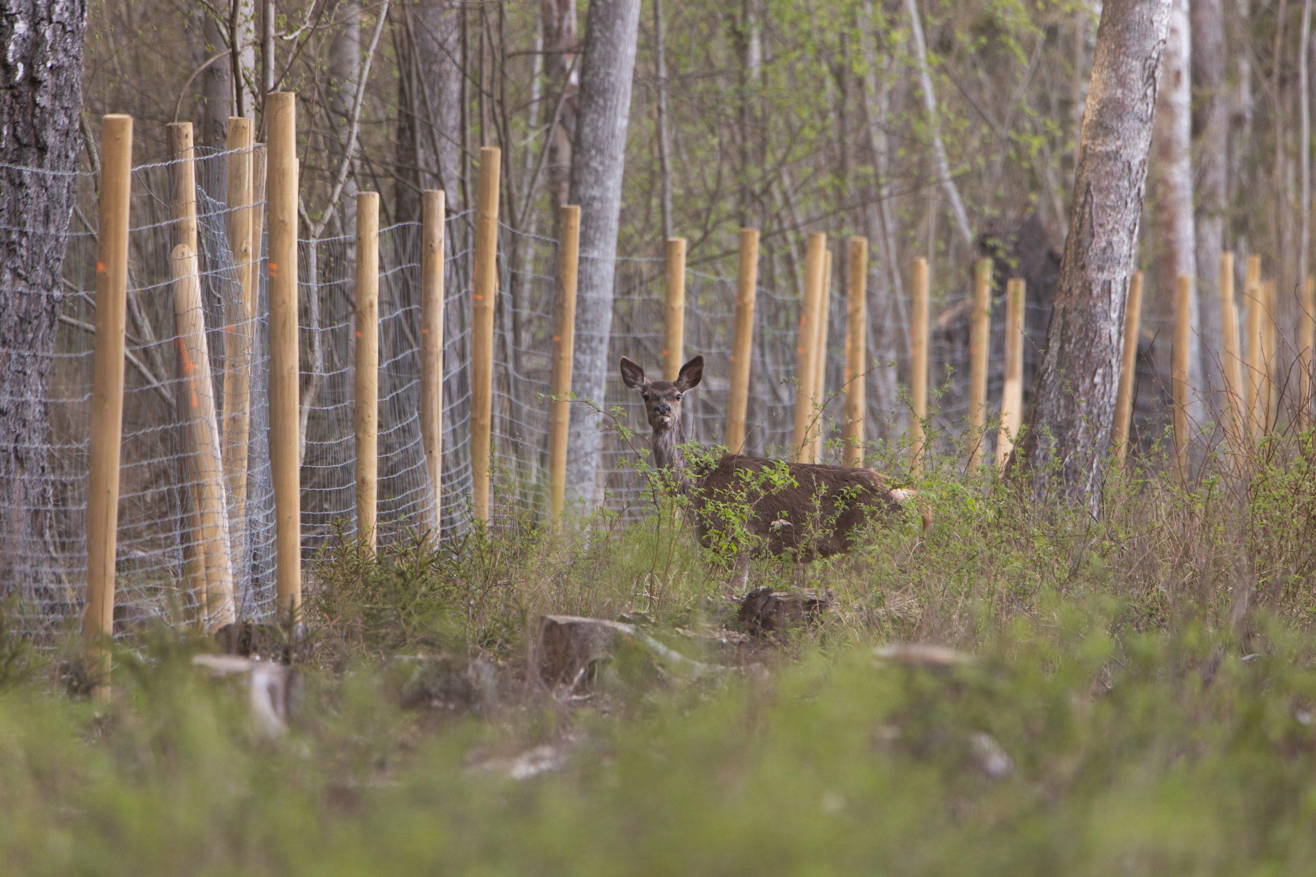 Legalūs spąstai miškuose