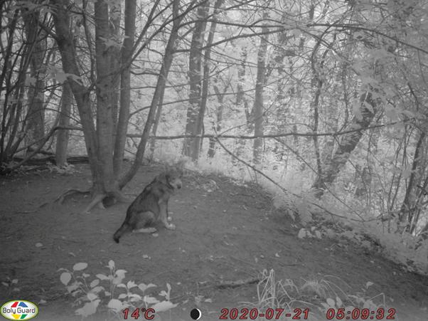 """Atvejai, kai automatinė vaizdo registravimo kamera nufotografuoja vilką (-us), www.biomon.lt sistemoje registruojami kaip """"Stebėtas gyvas individas (individai)"""""""